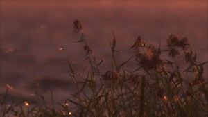 448710440-effimera-longicaudata-lago-chanka-canna-palustre-tramonto-del-sole