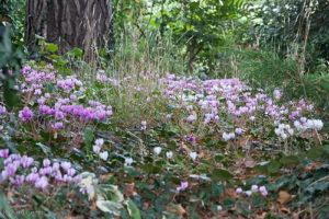 Fioritura-annuale-di-Cyclamen-hederifolium